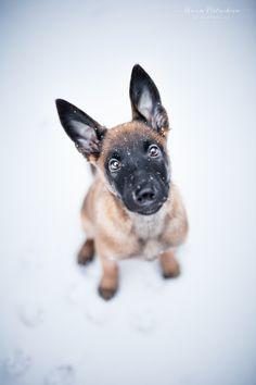 Puppy in snow by Anna Postnikova / Belgian Shepherd, German Shepherd Dogs, Baby Dogs, Dogs And Puppies, Doggies, Malinois Shepherd, Belgian Malinois Puppies, Belgium Malinois, Military Working Dogs