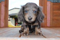 Mini Dachshund Puppies for sale in Texas - Muddy River Dachshunds Dachshund Breeders, Dachshund Puppies For Sale, Baby Dachshund, Dashund, The Ranch, Dogs, Cute, Miniature, Animals