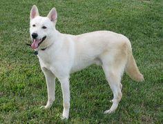 "Caanna dog phot | Gemari's Canaan Dogs - |Our Canaan Dogs| ""Forrest""--Gemari's Wild ..."