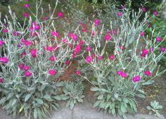 Lychinis Conoraria, of wel paarse Prikneus zaait zichzelf uit. Ze zoeken de warmeplekjes in de tuin uit. Zoals hier aan de zuidkant van de berg 26-6-2016.