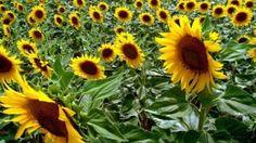 Devriye Haber : Hayrabolu'da Bu Yıl 280 Bin Dekar Ayçiçeği Ekildi