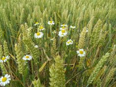 Pauline's Flowers - Daisies in the wheat field - July 2013