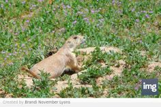 A Prairie Dog. There are a lot of these living in Clement Park, along with the raptors who eat them. Littleton, Colorado.
