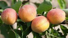 En janvier, taille des fruitiers