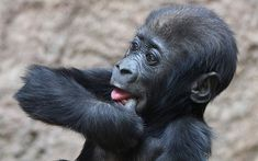 Five-month old baby gorilla Jengo sucks his thumb at the zoo in Leipzig