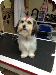 Willow is a Cairn Terrier/Shih Tzu Mix - avaiable in a week - 1 year old.  Adorable!  ooohh