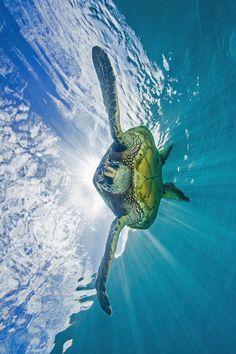Sea turtle ☄ #blue #ocean