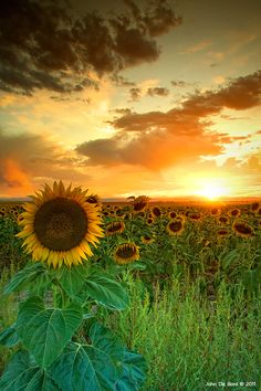 Colorado sunflowers. Love the sunset/sky colors with the sunflowers' brown centers. Golden yellow would be a great small accent...