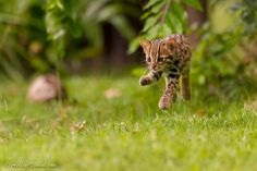 """Levitating Leopard Cat - * CLICK ON PHOTO TO ENHANCE *  For those interested in reading some information on leopard cats and seeing more of the pictures I captured of this cute little cub and her sister, you can find all that over on my latest blogpost: <a href=""""http://www.ashley-vincent.com/category/blog/"""">Miniature Leopards</a>  Thanks for your time and wishing you a great one ahead!  <a href=""""http://www.ashley-vincent.com"""">Website: www.ashley-vincent.com</a> 