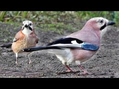 The Ultimate Videos of Birds for Cats To Watch The birds in the video are - First Clip - Eurasian Jays with a Magpie sneaking in towards the end. Cute Kitten Gif, Cat Gif, Crazy Cat Lady, Crazy Cats, Funny Cat Videos, Funny Cats, Wild Animals Photos, Wild Photography