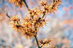 Vernal Witchhazel (Hamamelis vernalis) at New Garden Landscaping & Nursery