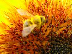#Biene auf #Sonnenblume