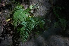 Fern growing at waterfall waimarang Sumba island Indonesia. Fern, Plant Leaves, Waterfall, Road Trip, Journey, Island, Plants, Waterfalls, Road Trips