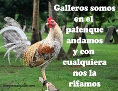 Frases Para Un Buen Gallero Pollo Animal, Game Fowl, Animal Sculptures, Hens, Animal Drawings, Rooster, Barbacoa, Animals, Roosters