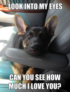 Wicked Training Your German Shepherd Dog Ideas. Mind Blowing Training Your German Shepherd Dog Ideas. German Shepherd Mix Puppies, Sable German Shepherd, Funny German Shepherds, Funny Dogs, Cute Dogs, Dog Activities, Working Dogs, Dog Quotes, Training Your Dog