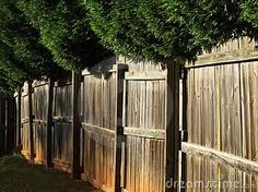 Robinia Mop Tops infront of a fence. The same look can be achieved with Designer Cherries or Catalpa Moptops. Small Gardens, Outdoor Gardens, Wooden Fence, Garden Landscaping, Paths, Canning, Landscape, Trees, Cherries