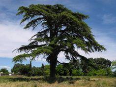 El cedro, árbol nacional del Líbano - http://www.actualidadviajes.com/el-cedro-arbol-nacional-del-libano/