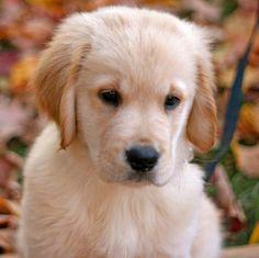 golden retriever puppy ... Golden Retriever are really sweat dogs