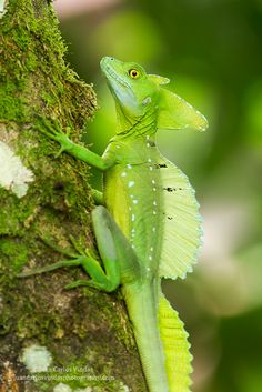 The Common Basilisk is also called The Jesus Christ Lizard because it can run on water for short distances.
