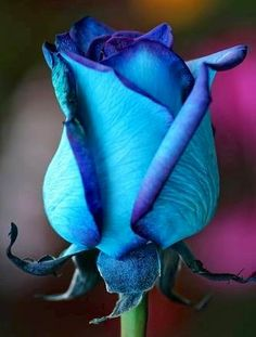 Blue Rose via Lovely Roses Facebook page