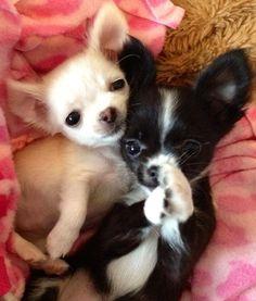 Chihuahuas image via www.Facebook.com/CuteChihuahuaFans