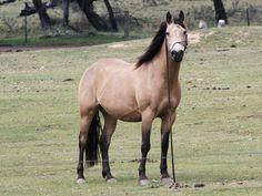Australian Stock Horse on Pinterest   Horses, Watches and Australia