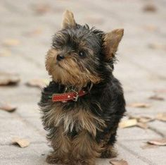 Miniature Yorkshire Terrier Source by clubcaninetx The post Teacup Yorkie: The Pocket-Sized Yorkshire Terrier appeared first on Avery Dogs. Yorky Terrier, Yorshire Terrier, Bull Terriers, Teacup Yorkie, Pitbull Terrier, Yorkshire Terrier Mini, Teacup Dog Breeds, Cute Puppies, Cute Dogs