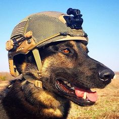 Veterans Day is celebrated on March which is the date that the US Army Corps was founded in Spread the word and help honor the dogs who serve. Here are five out of the countless military dogs who deserve our respect. Military Working Dogs, Military Dogs, Police Dogs, Dog Soldiers, War Dogs, German Shepherd Puppies, German Shepherds, Service Dogs, Mans Best Friend