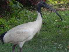 Straw Necked Ibis always mooching around looking for a free meal