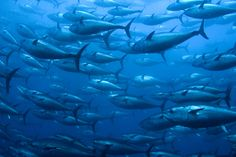 """HowStuffWorks """"Top 10 Most Endangered Fish Species""""~Bluefin Tuna Endangered Fish, Endangered Species, Ocean Day, Ocean Life, National Geographic, Atlantic Bluefin Tuna, Mercury In Fish, World Water Day, Fish Farming"""