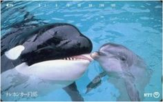 India Bans Dolphins & Orcas From Captive Entertainment, Declaring Them Non-Human Persons Animals Kissing, Cute Baby Animals, Animals And Pets, Orcas, Liberen A Willy, Ocean Creatures, Killer Whales, Ocean Life, Marine Life