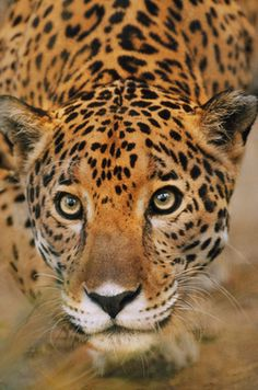 eyes-of-the-cat: Jaguar stalking, Panthera onca, Belize Photographer: FRANS LANTING This has to be one of the most stunning Jaguars I have ever seen. Ocelot, Big Cats, Cool Cats, Beautiful Cats, Animals Beautiful, Wild Life, Lynx, Jaguar, Pumas