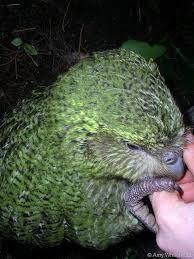 Resultado de imagen para kakapo