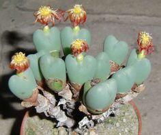 Conophytum cupreiflorum  RARE Succulent Living Stone Ariocarpus Astrophytum