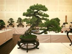 BONSAI   IN   NATURE   AND   FHIS   KOI