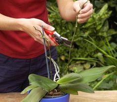 Orchideen kürzen