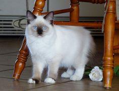 Satin - Seal Mitted Ragdoll Cat