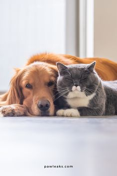 Cats and dogs can definitely get along and live together. Despite their different behaviour patternsthey could be become very close friends. Cats are more reserved and don't like to be thrown into new situations. They will most likely seek some quiet spots in the home to observe the situation first. Their first introduction must be calm and pleasant for everyone to ensure living together. #dogs #cats #puppytraining Cute Baby Dogs, Cute Funny Dogs, Funny Cats And Dogs, Cute Baby Animals, Cute Puppies, Funny Pets, Cute Dogs Breeds, Dog Breeds, Raining Cats And Dogs