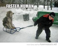 18 Sled Dogs Who Are Way Too Happy About Winter - Funny Husky Meme - Funny Husky Quote - XD Im trying your majesty please this is all I can do. The post 18 Sled Dogs Who Are Way Too Happy About Winter appeared first on Gag Dad. Husky Humor, Tierischer Humor, Funny Animal Pictures, Funny Animals, Cute Animals, Animals Dog, Random Pictures, Funny Photos, Funny Images