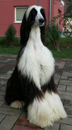 Gorgeous Afghan Hound.