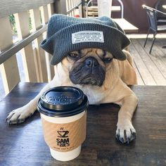 Doug the Pug, with his morning coffee x http://europug.eu/
