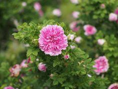 https://flic.kr/p/kB4xpD | Rose, Rosa roxburghii roxburghii, バラ, イザヨイバラ, | Rose, Rosa roxburghii roxburghii, バラ, イザヨイバラ, Species rose 原種