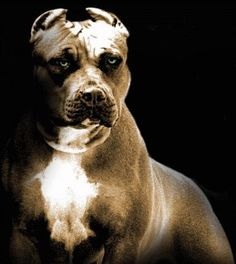 I have never met a pit bull that I didn't like. They are wonderful companions when raised properly and treated with love.