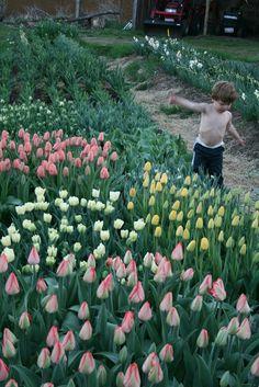 tiptoe through the tulips: muddy feet flower farm: may 2013 Peonies, Tulips, Flower Farm, Growing Flowers, Plants, Tulip, Plant, Paeonia Lactiflora, Planting