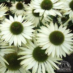 Echinacea purpurea 'Virgin'  White Coneflower