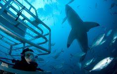Teresa and her great white shark friend!  Port Lincoln South Australia