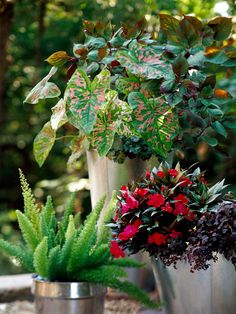 Pay attention to your containers. Here, sleek, shiny pots draw your eye up to a bonanza of color and texture. Great for shady spots.  A. Caladium 'Florida Elise' -- 2   B. Perilla 'Gage's Shadow' -- 1  C. Asparagus fern (Asparagus densiflorus 'Myersii') -- 1  D. New Guinea impatiens (Impatiens 'Sonic Cherry') -- 1  E. Oxalis vulcanicola 'Zinfandel' -- 1