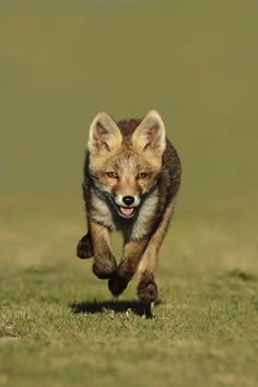 llbwwb:    Little red fox running by Menno Schaefer