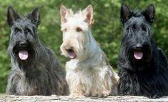 terrier-escoces-raca-cachorro
