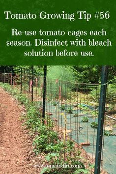 to build tomato cages to support tomato plants Tomato Growing Tip reuse tomato cages each year with Tomato DirtTomato Growing Tip reuse tomato cages each year with Tomato Dirt Tips For Growing Tomatoes, Growing Tomato Plants, Growing Tomatoes In Containers, Grow Tomatoes, Dried Tomatoes, Baby Tomatoes, Cherry Tomatoes, Container Vegetables, Planting Vegetables